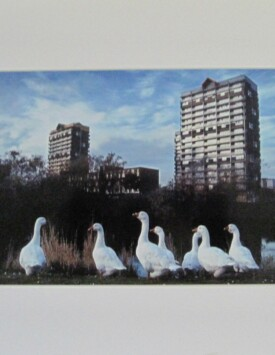 'Glasgow Geese'